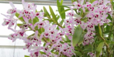 Дендробиум с бело-розовыми цветами.
